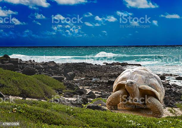 Large turtle at sea edge on background of tropical landscape picture id479910306?b=1&k=6&m=479910306&s=612x612&h=fkeo2g3kdrqjgjkjwstgjmoil5vcwtx7vp0y u1jsio=