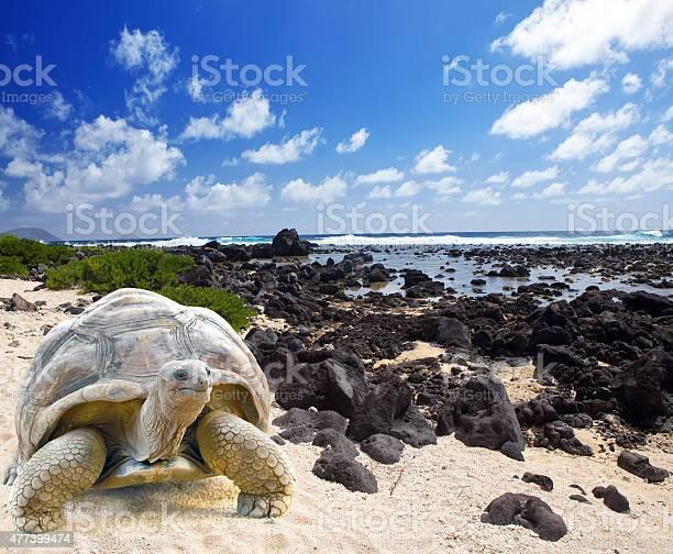 Large turtle at the sea edge picture id477399474?b=1&k=6&m=477399474&s=612x612&h=4mdgnniiyebz5ilajcv2vtz0esjvakqma5apugsldmc=