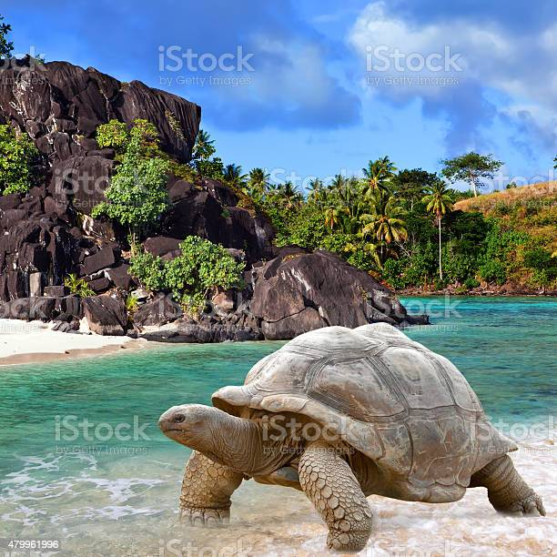 Large turtle at the sea edge picture id479961996?b=1&k=6&m=479961996&s=612x612&h=qdjxoa6kyzv65dticnxldq1zhtfvalm fvwekdbfyey=