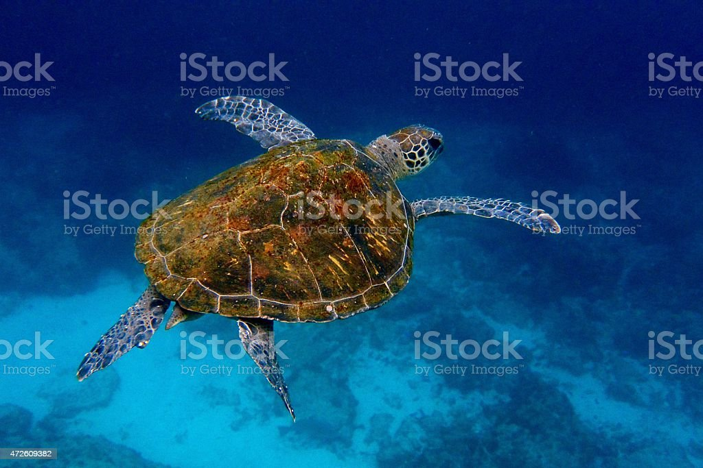 Large turtle swimming in a body of water stock photo