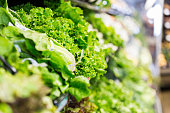 Rows of leafy green lettuce, curly kale, romaine lettuce, and other varieties of lettuce and vegetables are displyed in cold case in grocery store produce section. Fresh green vegetables are available for sale to customers shopping for healthy food.