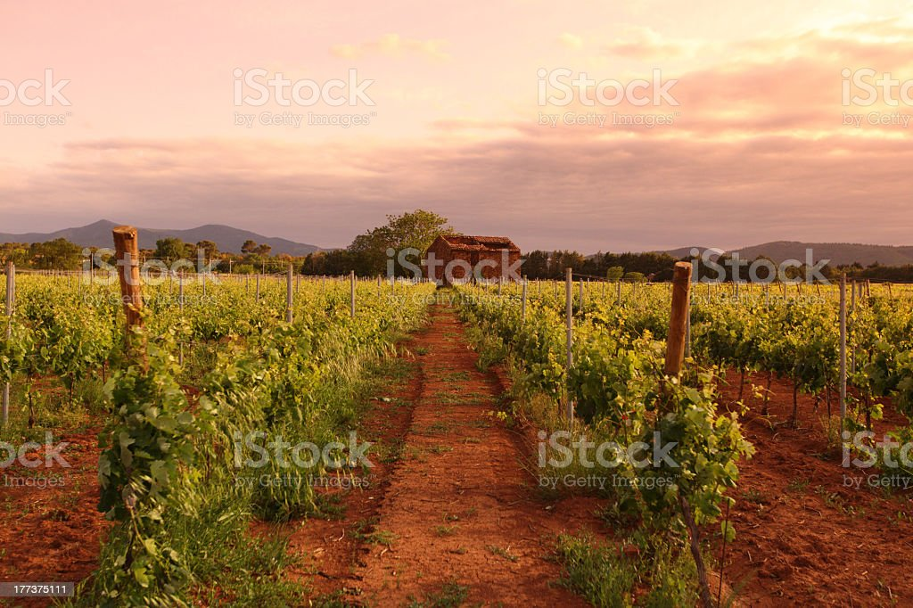 A large vineyard in France at dawn on the countryside stock photo