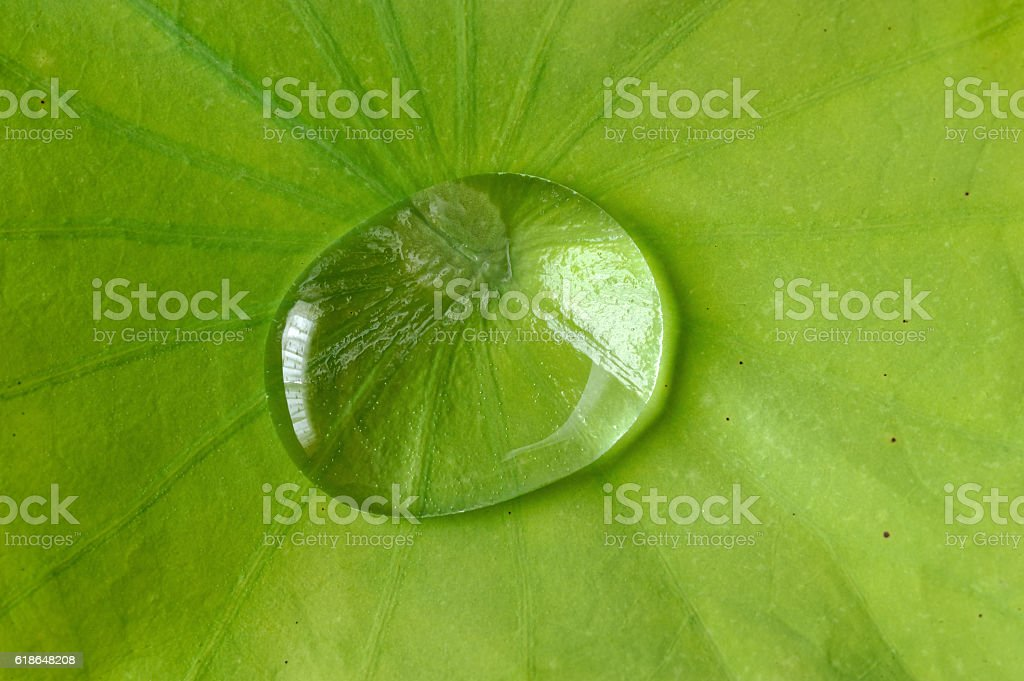 Large water drops over lotus leaf stock photo