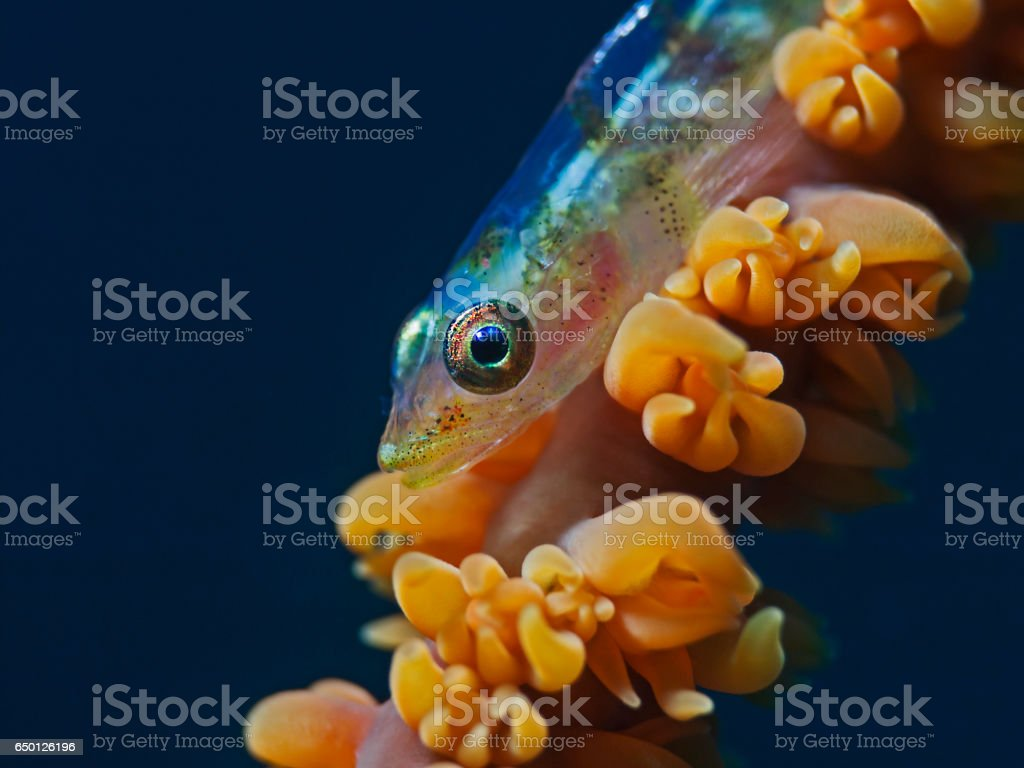 Large Whip Goby, Peitschen-Zwerggrundel (Bryaniops amplus) stock photo