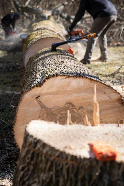 Large White Ash Tree Just Cut stock photo