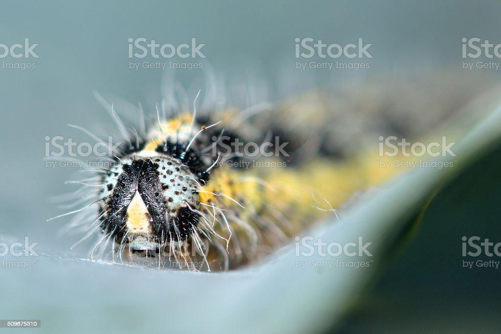 Large white butterfly (Pieris brassicae) caterpillar stock photo