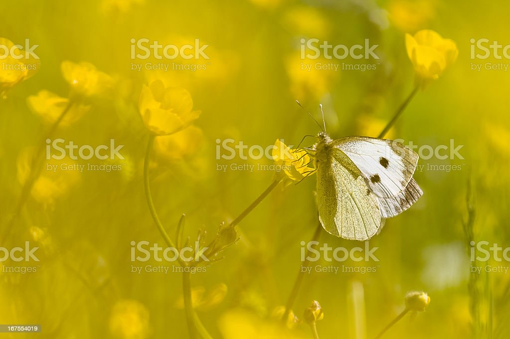 Large white butterfly on yellow flower royalty-free stock photo