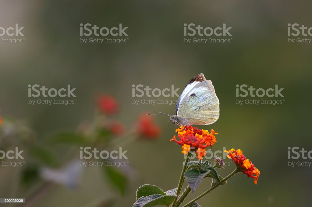Large White Butterfly (pieris brassicae) stock photo