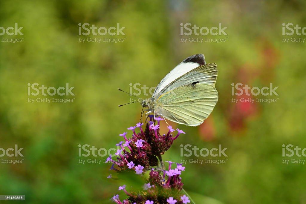Large White Butterfly, U.K. stock photo