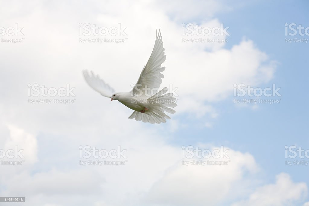 Large white dove flying through the sky stock photo