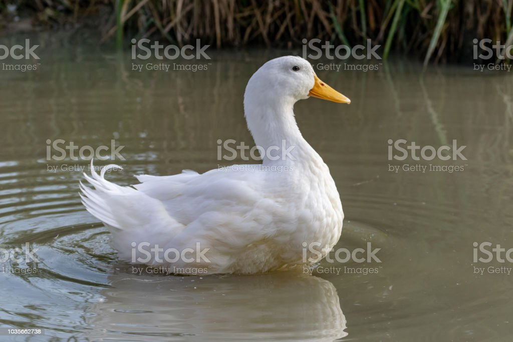 Large white heavy duck also known as America Pekin Duck, Long Island Duck, Pekin Duck, Aylesbury Duck, Anas platyrhynchos domesticus stock photo