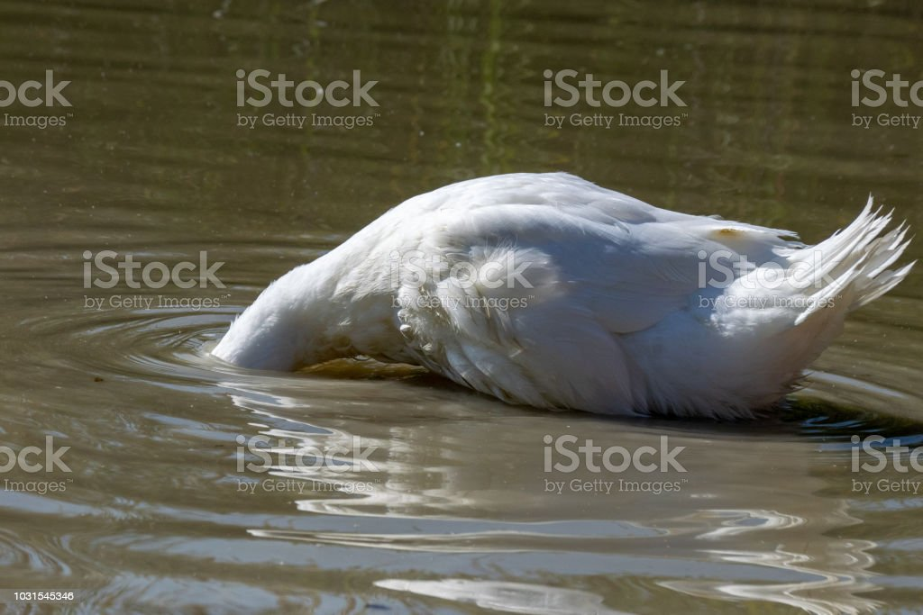 Large white heavy duck with head below water surface level searching for food stock photo