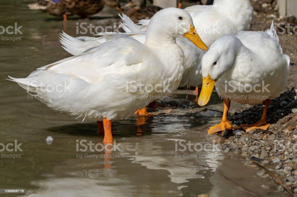 Large white heavy Pekin Aylesbury Ducks in shallow water stock photo