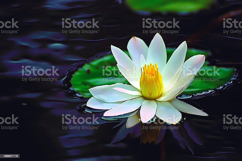Large white lotus flower stock photo