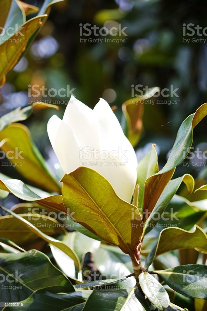 Large white magnolia blossom in Italy stock photo