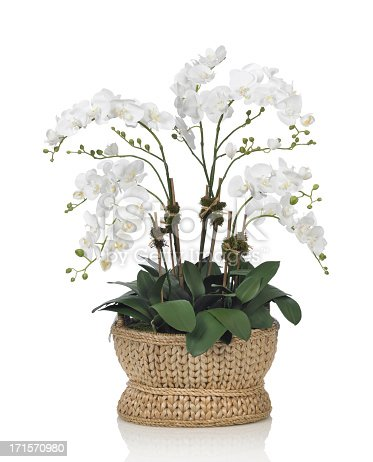 A beautiful large white Phalaenopsis orchid in a basket. Shot against a bright white background. There is a path which may be used to delete the reflection if desired. Extremely high quality faux flowers.