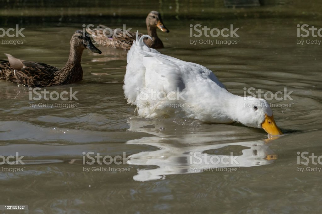 Large white Pekin Duck searching for food in shallow water as two female mallard ducks look on stock photo