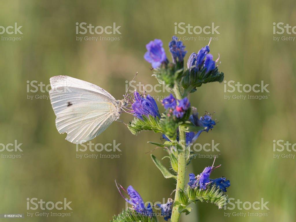 Large white - Pieris brassicae stock photo