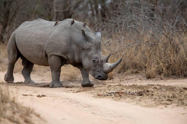 Large white rhino bull – zdjęcie