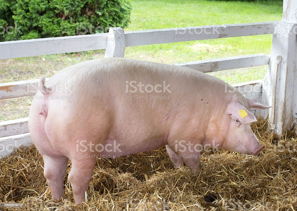 Large white swine on farm stock photo
