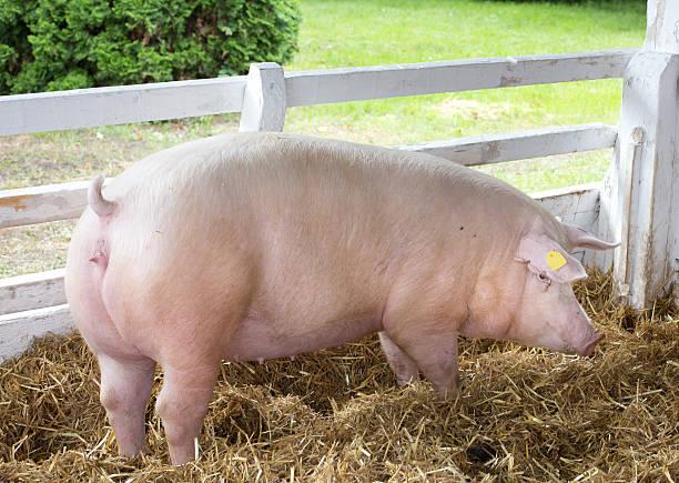 Large white swine on farm stock photo