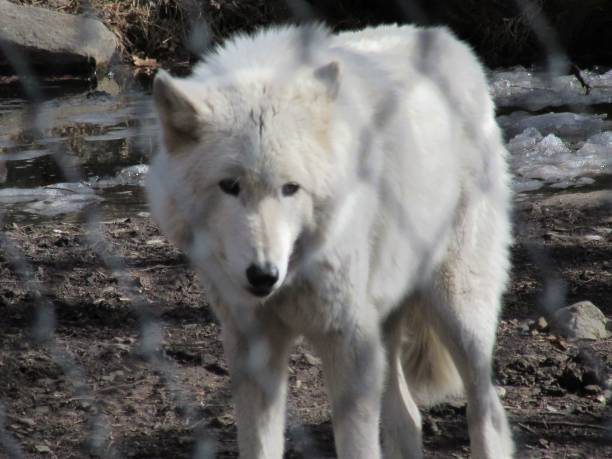 Large white wolf stock photo