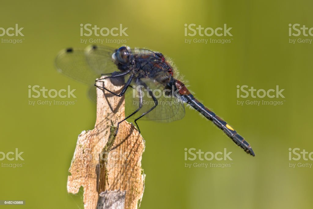 Large white-faced darter perched on reed stick stock photo