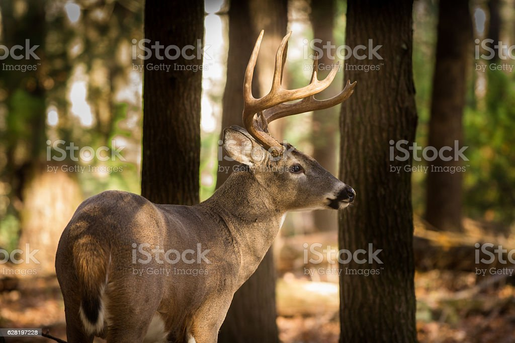 Large white-tailed deer buck in woods stock photo
