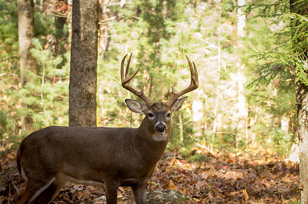 Large white-tailed deer buck in woods - Photo
