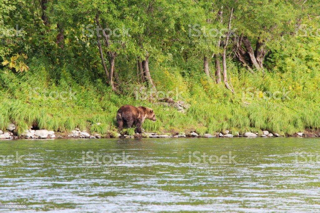 Large wild kamchatka brown bear , also known as the Far Eastern brown...