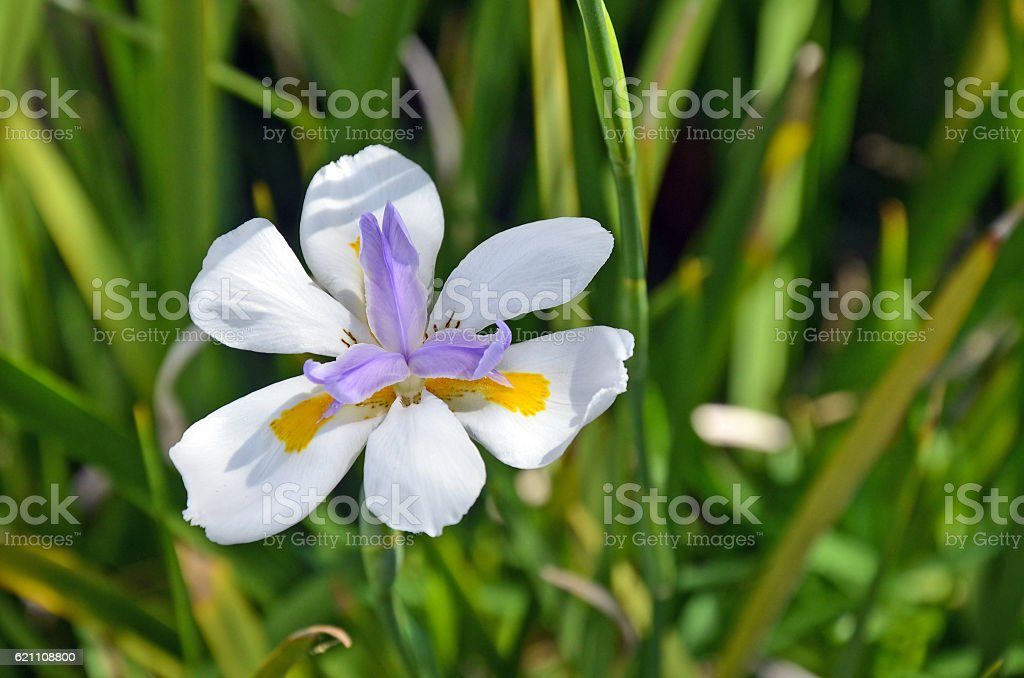 Large Wild iris or Fairy Iris, Dietes grandiflora stock photo