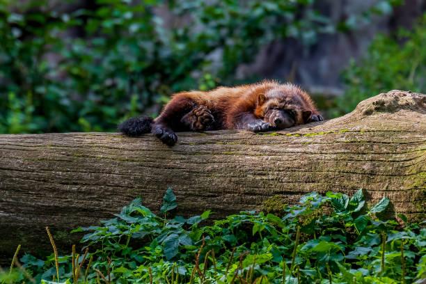 large wolverine sleeping on a log - rosomak zdjęcia i obrazy z banku zdjęć