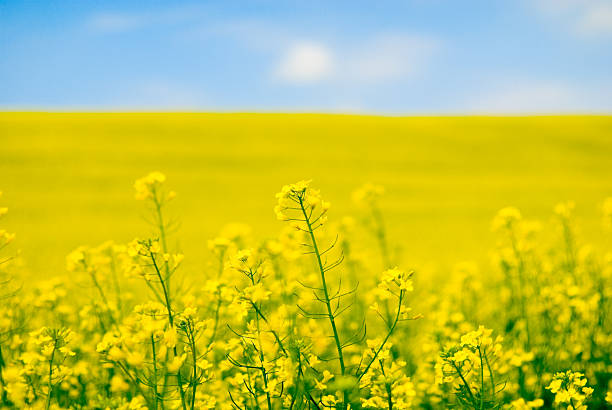 Large yellow field of rape seeds yellow flower of rape canola stock pictures, royalty-free photos & images