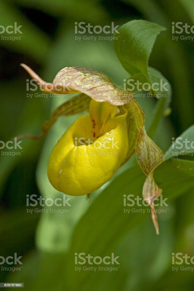 Large yellow lady's slipper (Cypripedium pubescens) stock photo