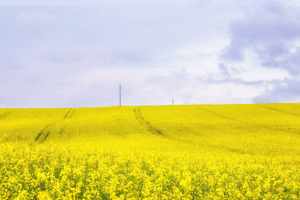 Large yellow rapeseed field and cloudy skyscape stock photo