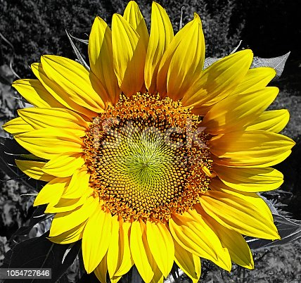 a large yellow sunflower blossom wisscderschönte against a black and white background - blackwhitecolored