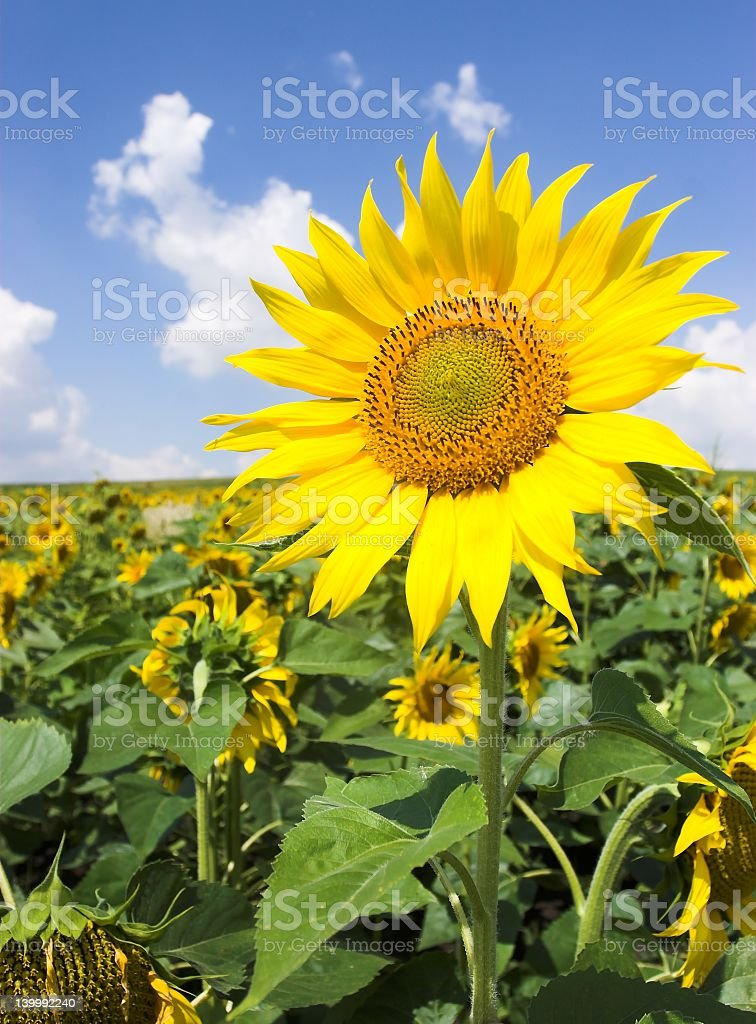 Large yellow sunflower in the sunshine royalty-free stock photo