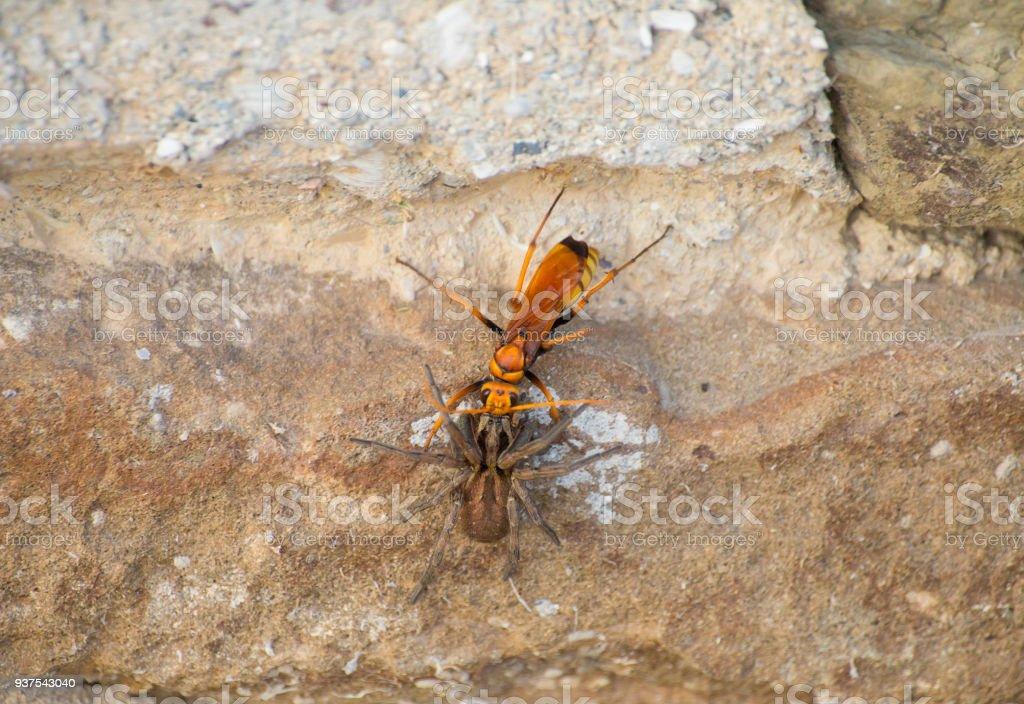 lobo de vespa amarela grande luta com a aranha marrom é um bruto de muro de pedra - foto de acervo