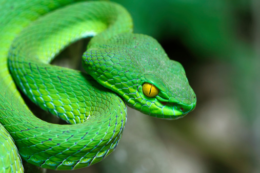 Close up Large-eyed Green Pitviper (Trimeresurus macrops) species endemic to Southeast Asia