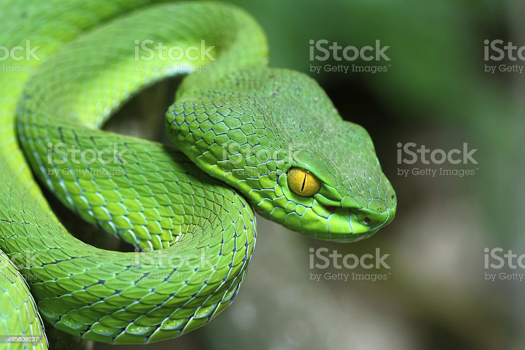 Large-eyed Green Pitviper stock photo