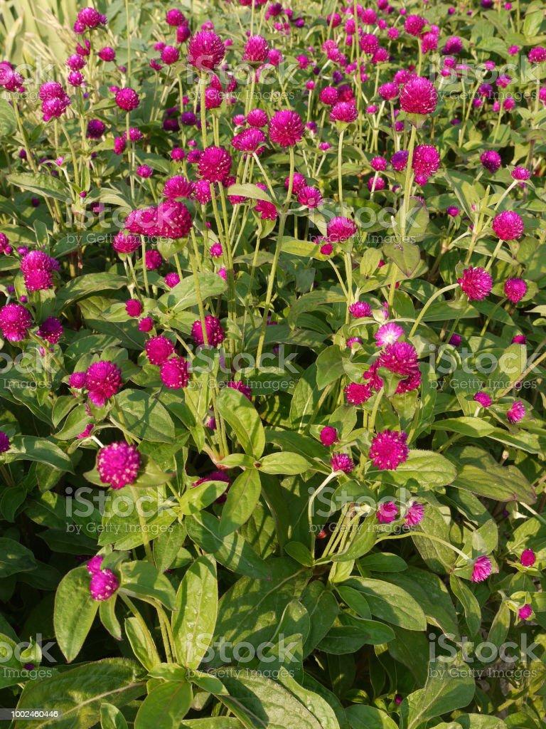 Largeleafed greens with raspberry flowers on high stems very large leafed greens with raspberry flowers on high stems very beautiful royalty free izmirmasajfo