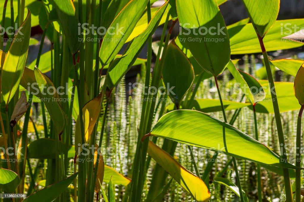 Großblättrige Grünteichpflanze im Vordergrund, gemeine Mares-tail, Hippuris vulgaris, im Hintergrund – Foto