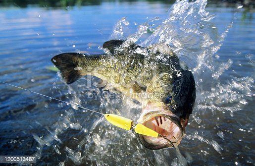 largemouth bass jumping at surface fighting a minnow imitation lure
