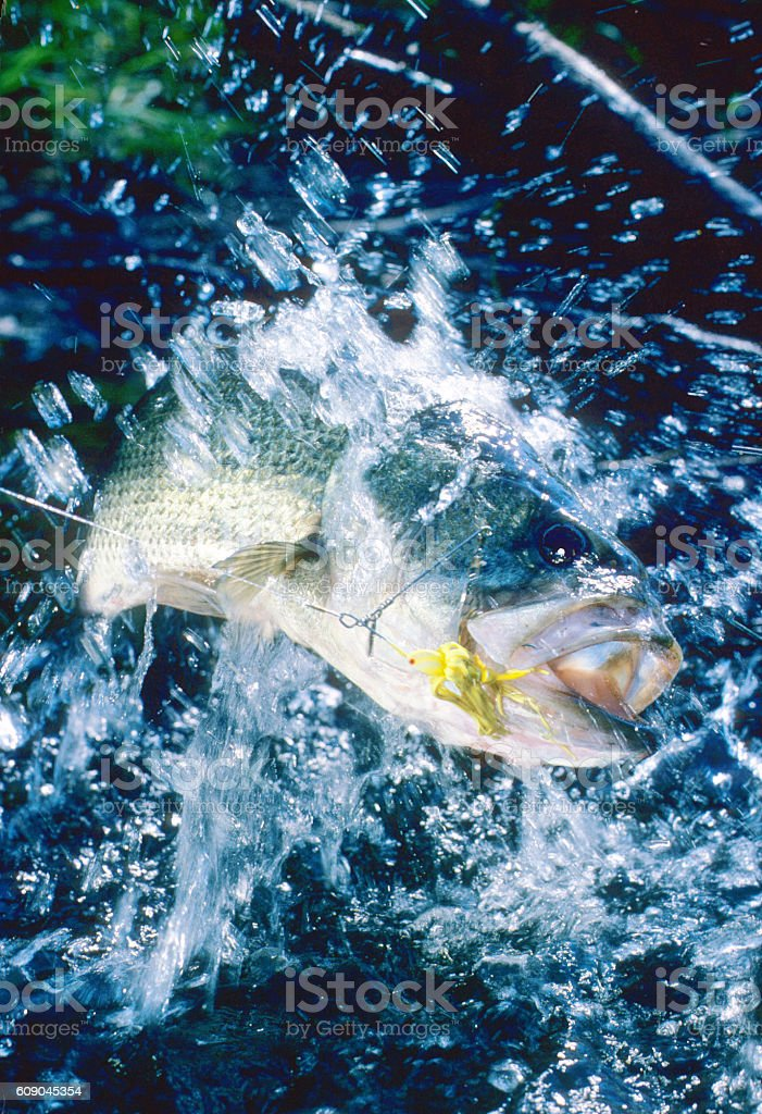 Largemouth Bass 7195 stock photo