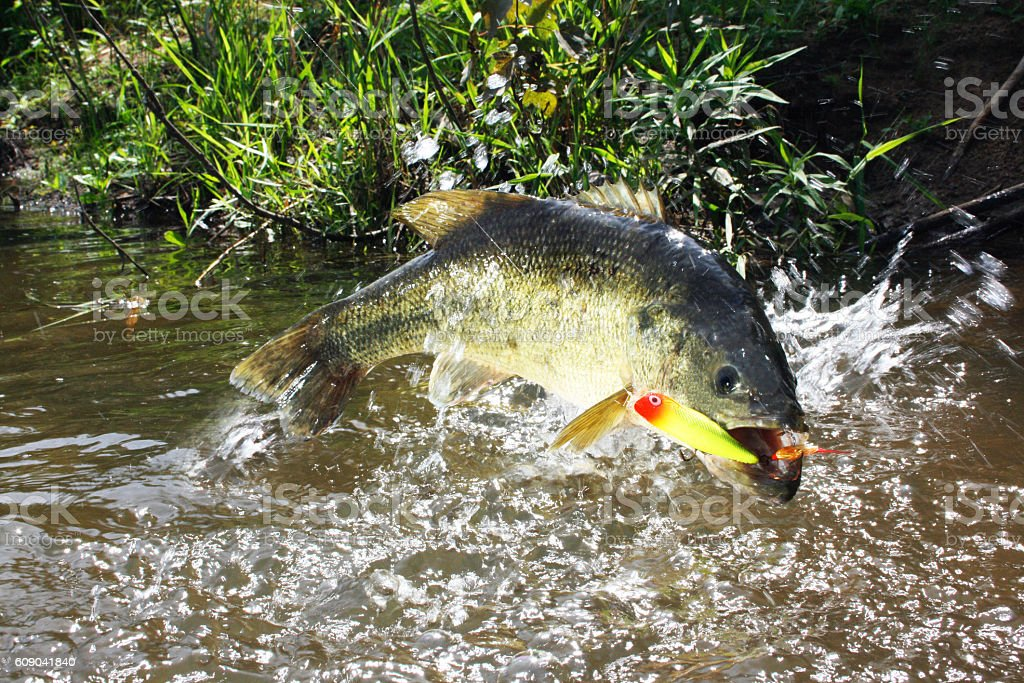 Largemouth Bass 7221 stock photo