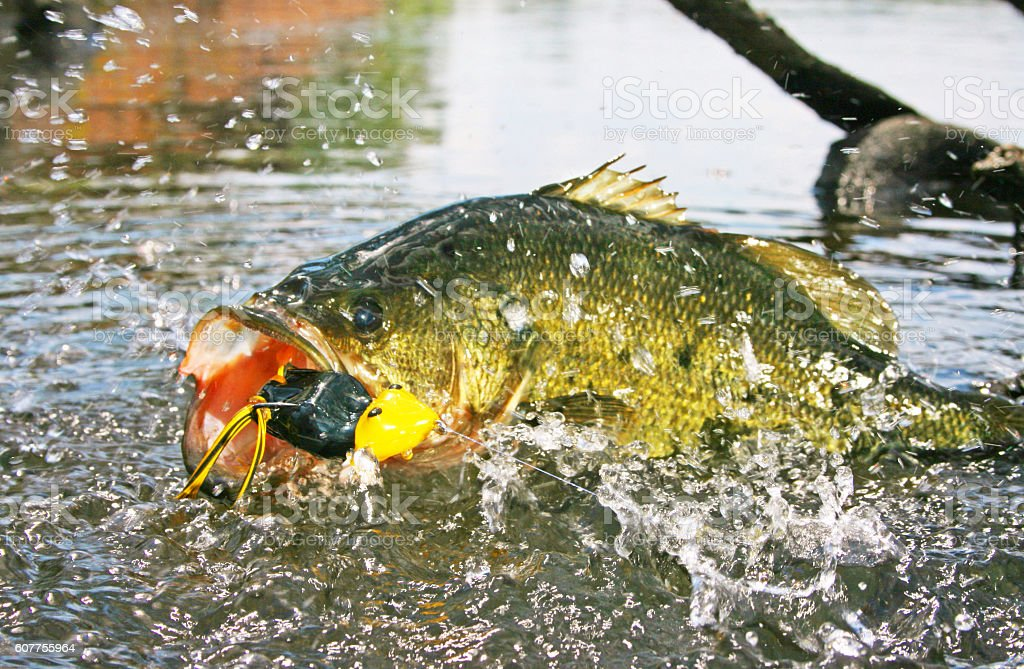 Largemouth Bass 7242 stock photo