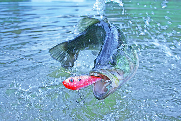 largemouth bass 7244 - 釣り ストックフォトと画像