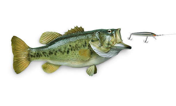 Largemouth bass chasing lure isolated on white Largemouth bass chasing lure isolated on white fishing hook stock pictures, royalty-free photos & images