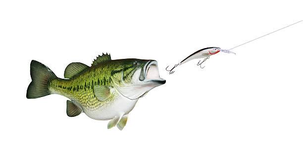 Largemouth Bass Chasing Lure stock photo