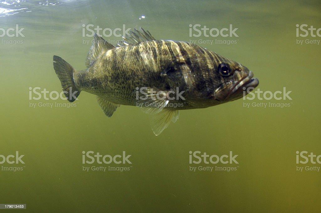 Largemouth bass fish royalty-free stock photo